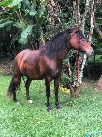 Vendo cavalo puro de marcha picada  - Foto 3