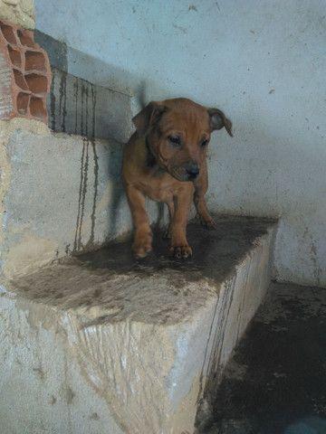 Vendo filhote de pitbull 2 meses femea muito bem tratada