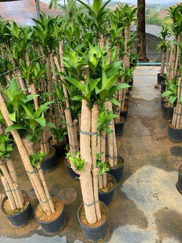 Reflorestamento e plantas paras jardins - Foto 3
