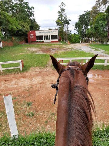 Cavalo de sela  Mangalarga Marchador  - Foto 6