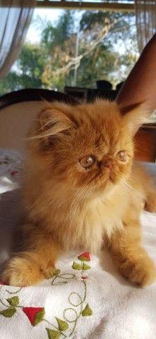 Persa Garfield Macho com 90 dias a venda. * - Foto 6