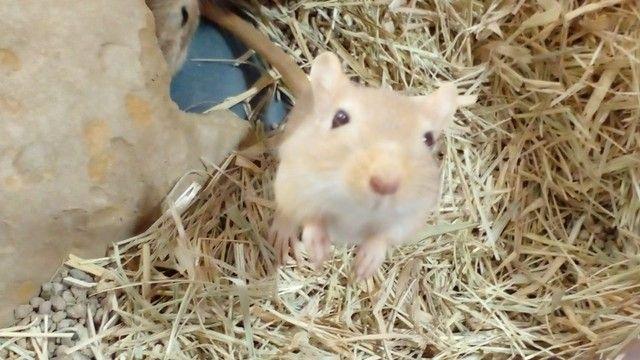 Esquilo da Mongólia (Gerbo ou Gerbil)  - Promoção (2 gerbos = R$ 50,00) - Foto 3