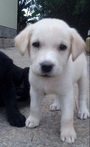 Labrador no RS - Foto 2