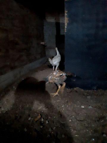 Dois franguinho indio gigante - Foto 4