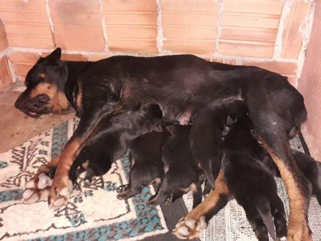 Filhotes de Rottweiler padrão alemão Araraquara