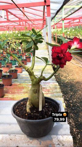 Rosas do deserto disponíveis - Foto 3