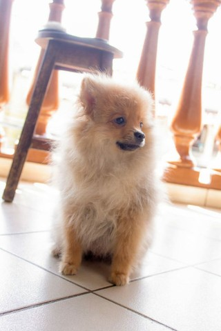 Vende se lindo filhote Macho de Spitz Alemão(Lulu da Polmerania) - Foto 5