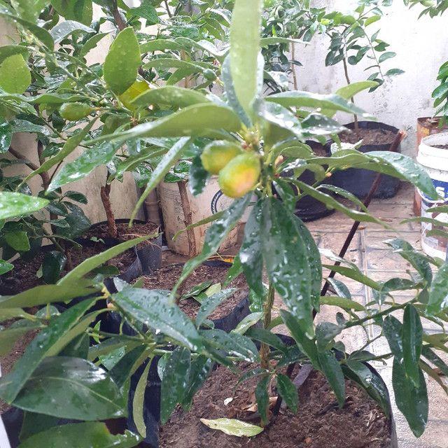 Plantas  frutiferas - Foto 2