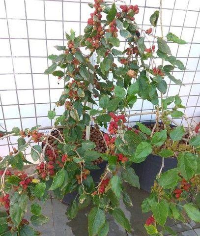 Lindas mini árvores frutíferas e ornamentais!!! - Foto 3