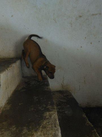 Vendo filhote de pitbull 2 meses femea muito bem tratada - Foto 2