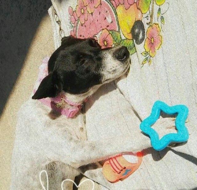 Adoção cachorro fêmea poete pequeno a médio carinhosa - Foto 3