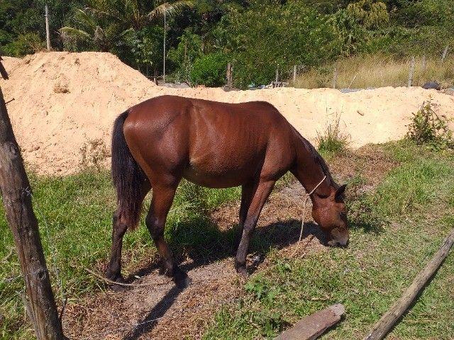 Vendo cavalo marcha picada manso ideal para crianças e adolescentes
