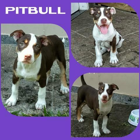 Fêmea de Pitbull Tricolor Chocolate - Microchipada + Garantia + Parcelado em até 12X