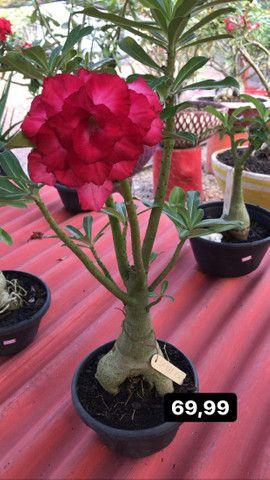 Rosas do deserto disponíveis - Foto 4