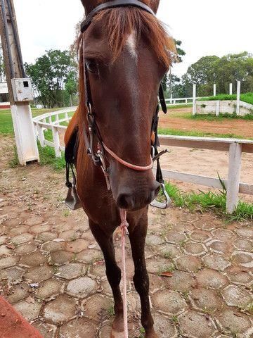 Cavalo de sela  Mangalarga Marchador
