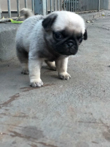 Filho de Pug - Foto 2