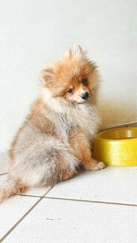 Vende se lindo filhote Macho de Spitz Alemão(Lulu da Polmerania)