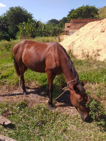 Vendo cavalo marcha picada manso ideal para crianças e adolescentes  - Foto 2