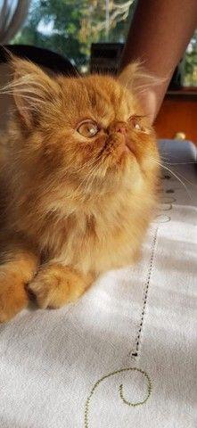 Persa Garfield Macho com 90 dias a venda. * - Foto 2