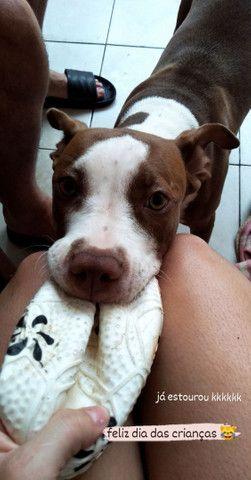 Filhote de Pitbull 5 meses  - Foto 2