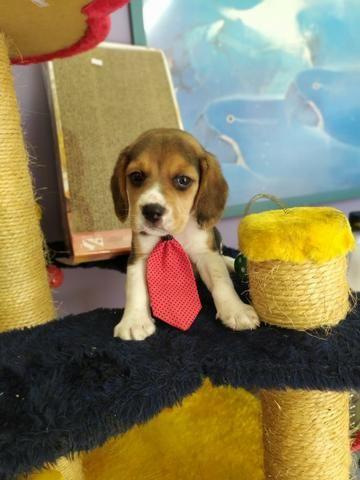 Beagle Machinho Tricolor em ate 6x sem juros
