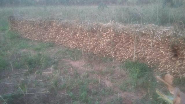 Vendo rama de mandioca - Foto 6