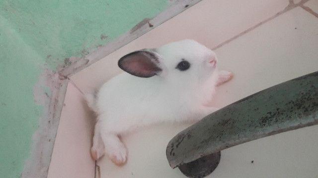 Vendo filhotes de coelho - Foto 4