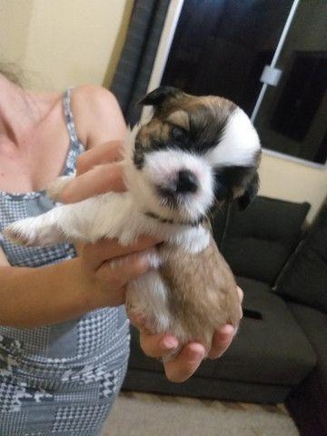 Vendemos cachorro da raça shih-tu lindos fêmea por 600,00 e macho a 500,00 - Foto 6