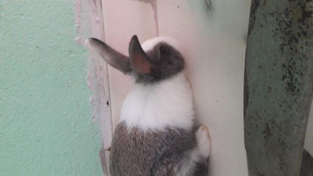 Vendo filhotes de coelho - Foto 5