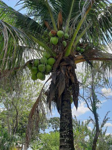 Coco orgânico  - Foto 2