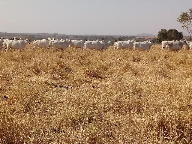 Fazenda 1455 hectares, em Acorizal, formado 900 hec - Foto 4