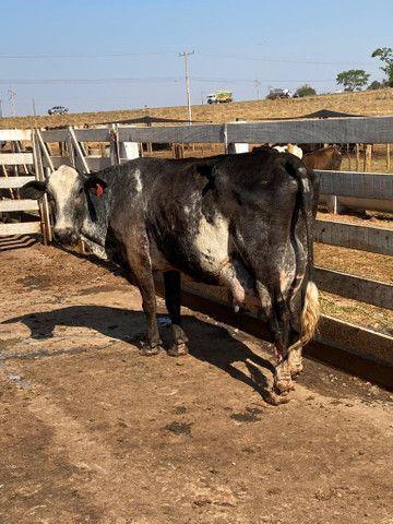 Vacas leiteiras - Foto 4