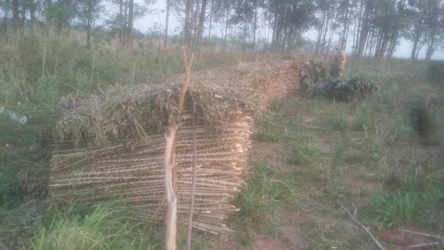 Vendo rama de mandioca