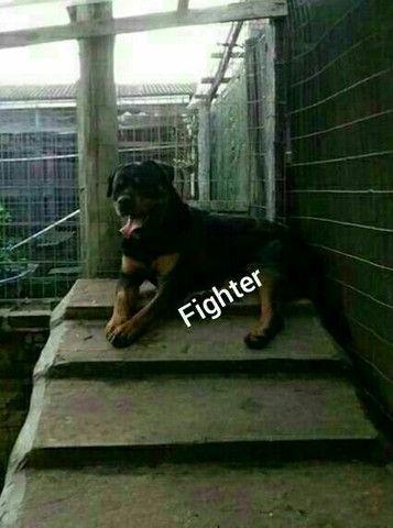 Rottweiler - Foto 2