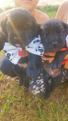 Cane corso pedigree, o Dog das celebridades,  Reserve o seu..