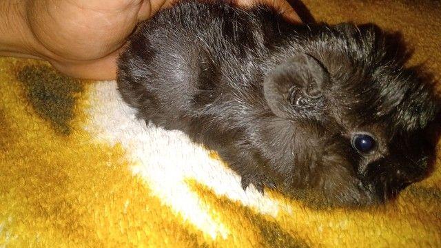 Porquinho da índia filhote - Foto 2
