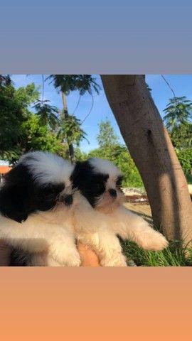 Dois machos Shihtzu já vermifugados e aplicado frontline - Foto 5