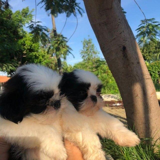Dois machos Shihtzu já vermifugados e aplicado frontline - Foto 2