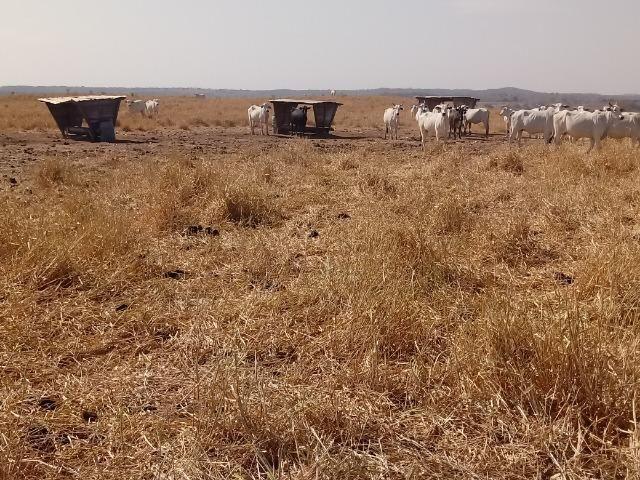 Fazenda 1455 hectares, em Acorizal, formado 900 hec - Foto 6