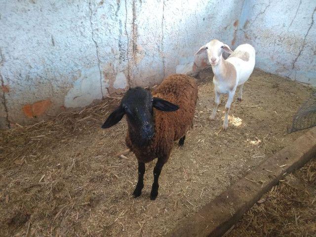 Vendo casal de carneiros, 10 kg - Foto 2