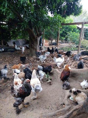 Promoção galinha *18 ZAP