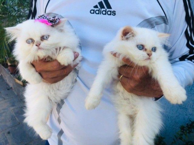 Filhotes de gato persa macho com pedigree  - Foto 3