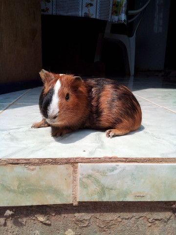 Porquinho da india adulto macho  - Foto 2