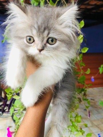 Filhotes de gato persa macho com pedigree  - Foto 5