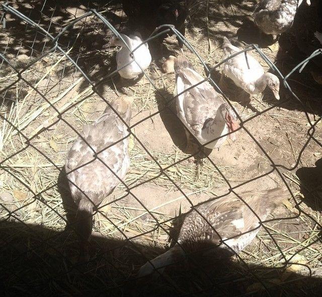 Patos barato(mestiços com canadense gigante) - Foto 3
