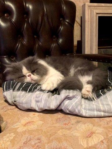 Gato Persa procura namorada  - Foto 2