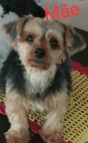 Vendo Filhote yorkshire Terrier - Foto 2