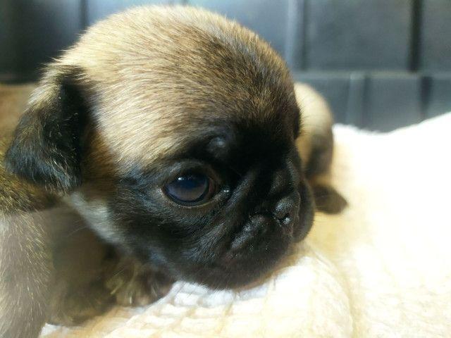 Filhote macho de Pug.. - Foto 2