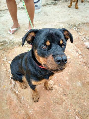 vendo Rottweiler fêmea - Foto 2