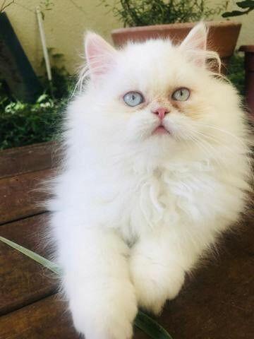 Filhotes de Gato Persa - Foto 3